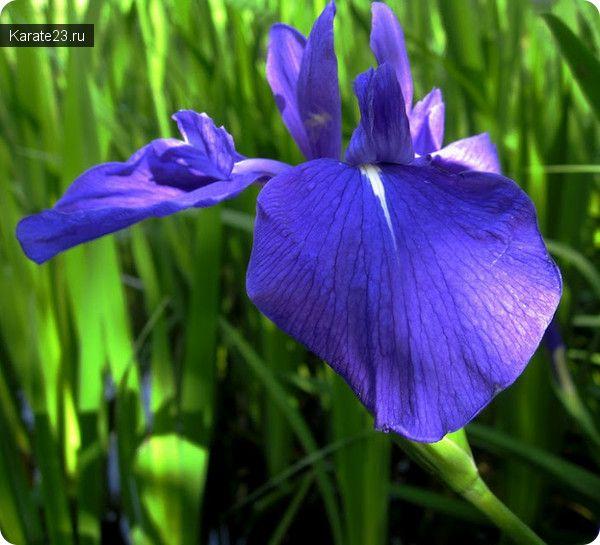 ирис цветок